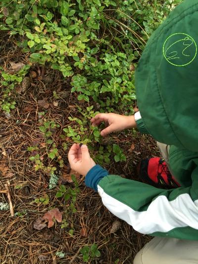 raccogliere i mirtilli durante una vacanza in finlandia